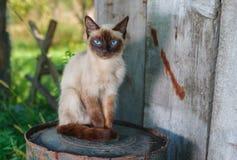 Σιαμέζα γάτα με τα μπλε μάτια που κάθονται σε ένα σκουριασμένο βαρέλι στο θερινό κήπο Στοκ Εικόνες