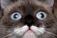Σιαμέζα γάτα πορτρέτου κινηματογραφήσεων σε πρώτο πλάνο με τα μπλε μάτια και το αστείο mustache στοκ εικόνα με δικαίωμα ελεύθερης χρήσης