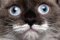 Σιαμέζα γάτα πορτρέτου κινηματογραφήσεων σε πρώτο πλάνο με τα μπλε μάτια στοκ φωτογραφία με δικαίωμα ελεύθερης χρήσης