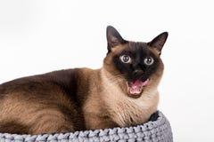 Σιαμέζα γάτα που βρίσκεται στο χειροποίητο καλάθι Άσπρη ανασκόπηση Πορτρέτο Ανοικτό στόμα, γλώσσα έξω Στοκ Εικόνες