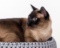 Σιαμέζα γάτα που βρίσκεται στο χειροποίητο καλάθι Άσπρη ανασκόπηση Πορτρέτο Στοκ Φωτογραφία