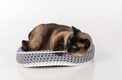 Σιαμέζα γάτα που βρίσκεται στο χειροποίητο καλάθι και που παίζει με το σχοινί looking straight Άσπρη ανασκόπηση Στοκ φωτογραφία με δικαίωμα ελεύθερης χρήσης