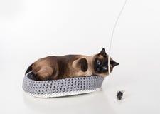 Σιαμέζα γάτα που βρίσκεται στο χειροποίητο καλάθι και που παίζει με το σχοινί και το ποντίκι Άσπρη ανασκόπηση Στοκ Φωτογραφία