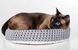 Σιαμέζα γάτα που βρίσκεται στο χειροποίητο καλάθι Να κοιτάξει κάτω Άσπρη ανασκόπηση Στοκ εικόνα με δικαίωμα ελεύθερης χρήσης
