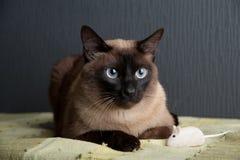 Σιαμέζα γάτα που εξετάζει τη κάμερα στοκ εικόνες