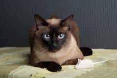 Σιαμέζα γάτα που εξετάζει τη κάμερα στοκ εικόνες με δικαίωμα ελεύθερης χρήσης