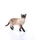 Σιαμέζα γάτα σε ένα άσπρο υπόβαθρο στοκ εικόνες