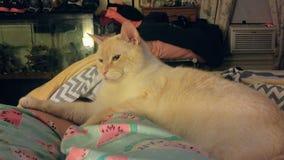 Σιαμέζα γάτα σημείου φλογών Στοκ Εικόνα