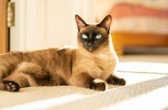 Σιαμέζα γάτα στον ήλιο στοκ φωτογραφία με δικαίωμα ελεύθερης χρήσης