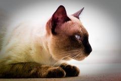 Σιαμέζα γάτα στο υπόβαθρο Στοκ Εικόνες