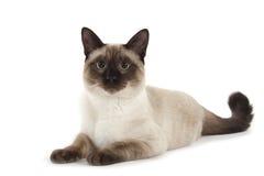 Σιαμέζα γάτα Στοκ Φωτογραφίες