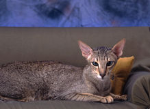 Σιαμέζα γάτα Στοκ φωτογραφία με δικαίωμα ελεύθερης χρήσης