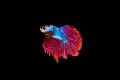 Σιαμέζα κόκκινο ψαριών πάλης και χρώμα μπλε ουρανού, απομονωμένο betta ο Στοκ εικόνες με δικαίωμα ελεύθερης χρήσης