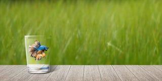 Σιαμέζα ψάρια πάλης στο γυαλί και την ξύλινη σανίδα Στοκ εικόνες με δικαίωμα ελεύθερης χρήσης