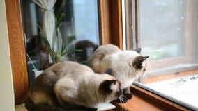 Σιαμέζες γάτες που κυνηγούν το περιστέρι απόθεμα βίντεο