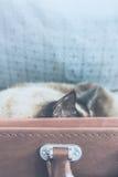 Σιαμέζος ύπνος γατών σε μια βαλίτσα - κατακόρυφος Στοκ Εικόνες