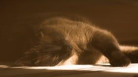 Σιαμέζος ύπνος γατών στο πάτωμα Στοκ Φωτογραφίες