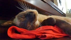 σιαμέζος ύπνος γατών Στοκ εικόνα με δικαίωμα ελεύθερης χρήσης