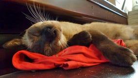 σιαμέζος ύπνος γατών Στοκ εικόνες με δικαίωμα ελεύθερης χρήσης