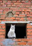 σιαμέζος Στοκ φωτογραφίες με δικαίωμα ελεύθερης χρήσης