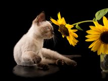 Σιαμέζο γατάκι που εξετάζει έναν κίτρινο ηλίανθο στοκ εικόνες