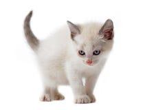 σιαμέζο λευκό γατακιών στοκ φωτογραφίες