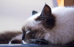 σιαμέζο σιβηρικό σημείο χρώματος γατών χνουδωτό Στοκ φωτογραφία με δικαίωμα ελεύθερης χρήσης