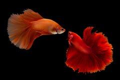 Σιαμέζο ψάρια ή betta πάλης splendens Στοκ Φωτογραφίες