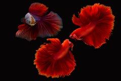 Σιαμέζο ψάρια ή betta πάλης splendens Στοκ φωτογραφίες με δικαίωμα ελεύθερης χρήσης