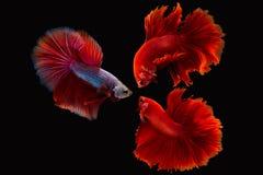 Σιαμέζο ψάρια ή betta πάλης splendens Στοκ εικόνα με δικαίωμα ελεύθερης χρήσης