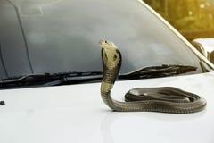 Σιαμέζο cobra φιδιών στο μπροστινό αυτοκίνητο κουκουλών καπακιών Στοκ φωτογραφία με δικαίωμα ελεύθερης χρήσης