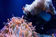 ΣΙΑΤΛ, ΟΥΑΣΙΓΚΤΟΝ, ΗΠΑ - 25 Ιανουαρίου 2017: Το anemone θάλασσας και μια ομάδα κλόουν αλιεύουν στο θαλάσσιο ενυδρείο στο μπλε υπό Στοκ Εικόνες