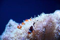 ΣΙΑΤΛ, ΟΥΑΣΙΓΚΤΟΝ, ΗΠΑ - 25 Ιανουαρίου 2017: Το anemone θάλασσας και μια ομάδα κλόουν αλιεύουν στο θαλάσσιο ενυδρείο στο μπλε υπό Στοκ Εικόνα