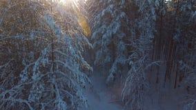 Σιβηρία, έλατα και πεύκα στο χιόνι, φως του ήλιου μεταξύ των δέντρων απόθεμα βίντεο