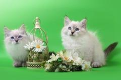 Σιβηρικά γατάκια Neva Masquarade colorpoint στοκ εικόνα