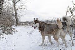 Σιβηρικά γεροδεμένα σκυλιά που περπατούν μέσα στοκ φωτογραφία
