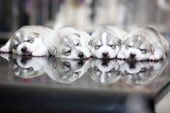 Σιβηρικά γεροδεμένα κουτάβια που κοιμούνται με το υπόβαθρο Στοκ Εικόνες