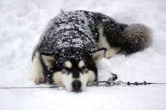 Σιβηρικά γεροδεμένα σκυλιά ελκήθρων φυλής Στοκ Εικόνα