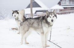 Σιβηρικά γεροδεμένα σκυλιά στο χιόνι Στοκ Φωτογραφίες