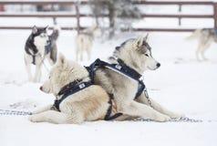 Σιβηρικά γεροδεμένα σκυλιά στο χιόνι Στοκ εικόνες με δικαίωμα ελεύθερης χρήσης