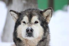 Σιβηρικά γεροδεμένα σκυλιά στο χιόνι Στοκ φωτογραφίες με δικαίωμα ελεύθερης χρήσης