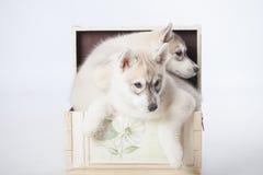 Σιβηρικά γεροδεμένα σκυλιά Στοκ Φωτογραφίες