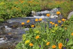 Σιβηρικά λουλούδια στοκ φωτογραφίες με δικαίωμα ελεύθερης χρήσης