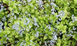 Σιβηρικά bugloss ή μπλε λουλούδια macrophylla Brunnera στοκ εικόνες