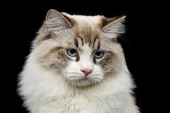 Σιβηρική γάτα με τα μπλε μάτια στο απομονωμένο μαύρο υπόβαθρο Στοκ εικόνες με δικαίωμα ελεύθερης χρήσης