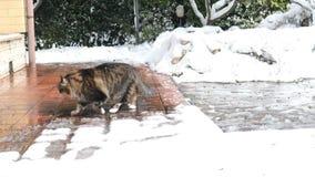 Σιβηρική γάτα στο χιόνι απόθεμα βίντεο