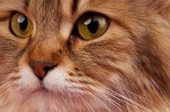 Σιβηρική γάτα Στοκ φωτογραφία με δικαίωμα ελεύθερης χρήσης
