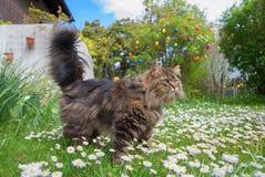 Σιβηρική γενεαλογική γάτα στο λιβάδι μαργαριτών στον κήπο Στοκ φωτογραφία με δικαίωμα ελεύθερης χρήσης