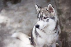 Σιβηρική γεροδεμένη συνεδρίαση πορτρέτου σκυλιών υπαίθρια Στοκ εικόνα με δικαίωμα ελεύθερης χρήσης