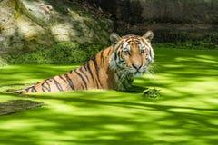 Σιβηρική τίγρη ή τίγρη Amur (altaica Panthera Τίγρης) Στοκ Φωτογραφίες